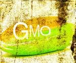 GMO_mais_300