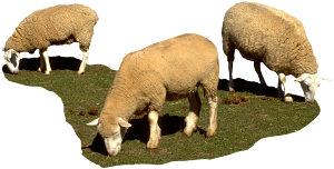Schafe_3