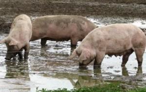 Schweine_Schlamm