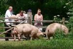 Schweine_Wolfgang_Sauber