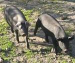 iberische_Freilandschweine