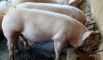 schweine-fressen1