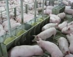 schweine-fuetterung