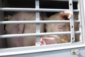 Schweinetransport-hessen