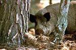 wildschwein-lanuvjpg