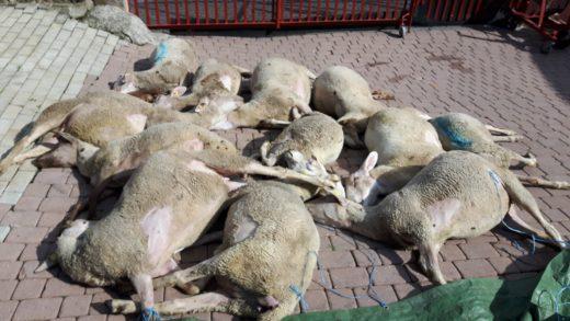 Schafe-Vergiftung-15.06.2016