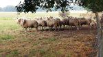 Schafe suchen Schutz vor der Hitze unter einem Baum
