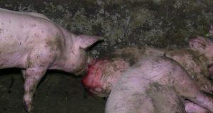 schweine-benagt-wunde