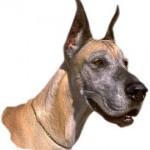 deutsche_dogge