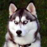 husky_200