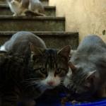 Katzen_beim_Fressen_240