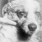 tollwuetiger_hund_1963