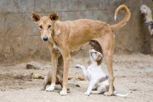 Importhunde - die Leishmaniose reist mit
