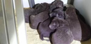 hundewelpen-ebern