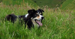 Black and white sheepdog lying in long green grass