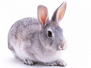 myiasis kaninchen therapie