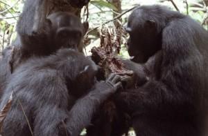 Schimpansen_Fleisch_idw
