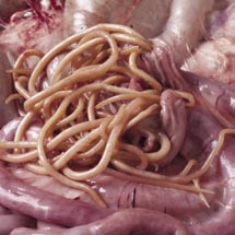 Der langdauernde Schnupfen die Parasiten